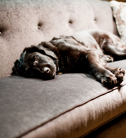 A cute dog resting on a nice couch